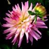 Lente vorentoe blom met knop