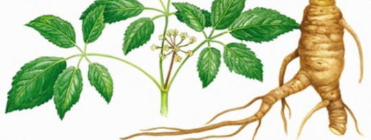 Ginseng could be an effective way to prevent the flu