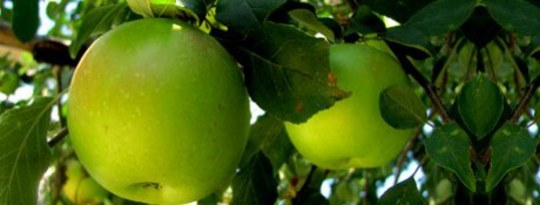Your Call to Action: Picking God's Little Green Apples