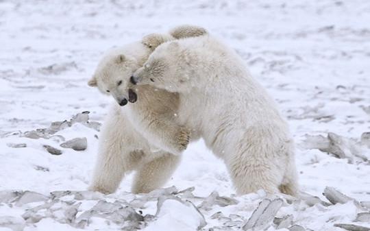 ursos polares-11-12
