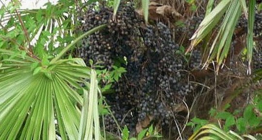 Saw Palmetto Berries: Reproductive Tonic for Men