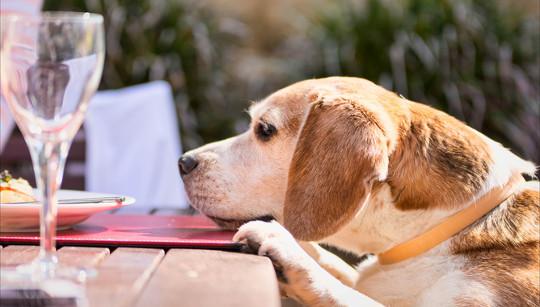 Beagle Gesundheit