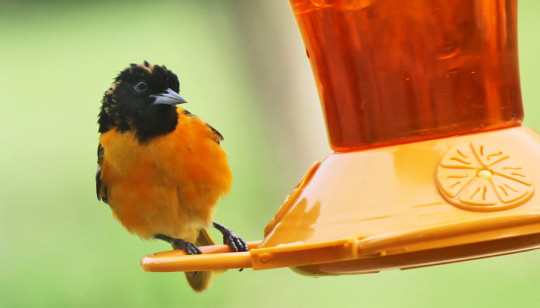 كيفية الالتصاق مع طيور الريشة