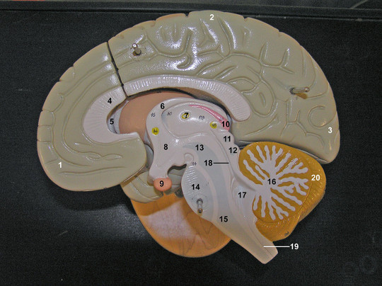 דוגמא למוח