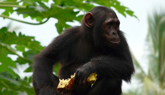 Chimps' Hopes Of Survival Are Being Jeopardized By Climate Change