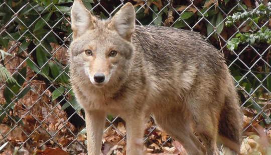 城市适应成长等级的土狼,美洲狮和其他野生动物