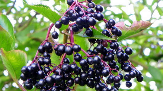 Elderberry: a Great Workout Partner with Triple Benefits