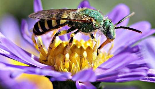 Perché le api perdenti pungono più del nostro gusto per il miele