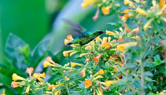 كيف ترسم الطيور الطنانية في نكتار؟