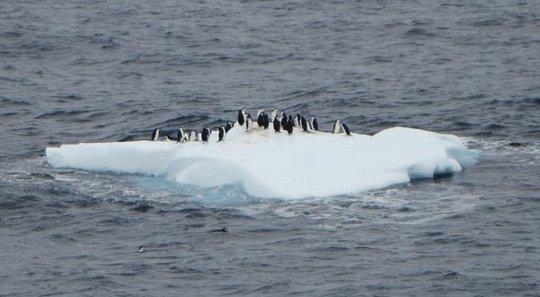 Pinguine können auch schlechte Lebensentscheidungen treffen