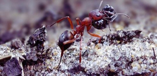 Bakit ba Slave Ants Rebel Against Slavemaker Ants?