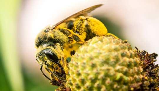 새로운 연구는 낙농 꿀벌 공급량 감소와 수분 공급 증가와 가장 큰 불일치가있는 주요 농업 지역의 139 카운티를 확인했습니다. (제공 : Insects Unlocked / Flickr)