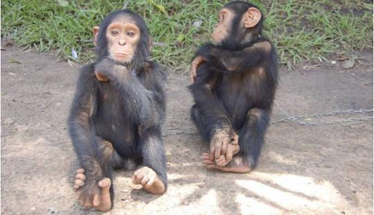 엄마가 도구를 사용하도록 침팬지 가르치기를 조심하십시오.