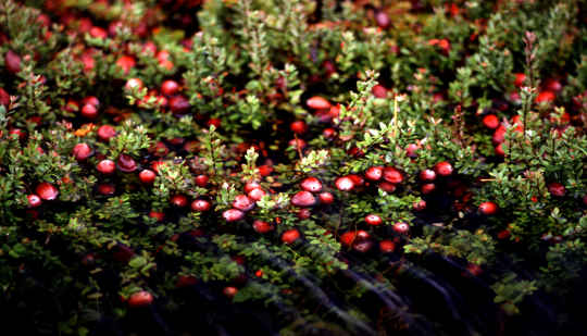 While Cranberries Are Otherwise Healthy, They Don't Appear To Cure Urinary Tract Infections