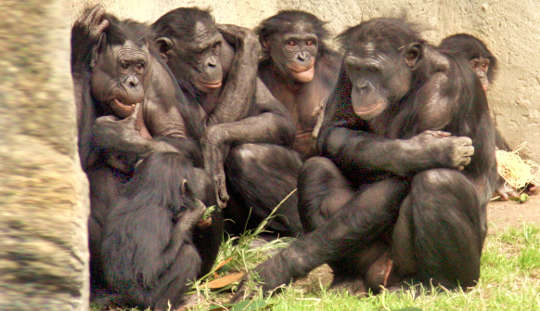 Chimp Study Shows How Hanging Out With Friends Makes Life Less Stressful