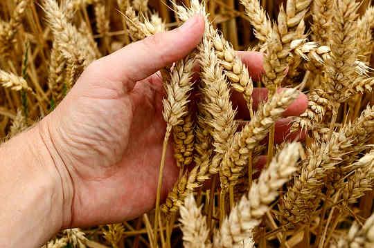 Este posibil să se elimine părțile rele ale grâului?