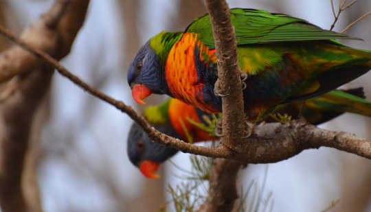 Bold colours: Rainbow Lorikeets are among the most successful city birds. Kathryn Teare Ada Lambert, Author provided