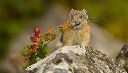 Research in Yosemite National Park has documented a move of pikas to higher elevations as temperatures have risen. National Park Service/Flickr