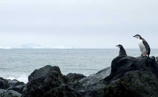 अंटार्कटिक पेंगुइन समुद्र देख रहे हैं सेरीडवेन फ्रेजर, लेखक ने प्रदान किया
