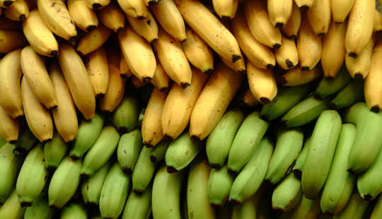 Each banana plant is a genetic clone of a previous generation. Ian Ransley, CC BY