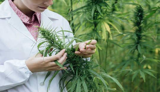 Forårsager cannabis mental sygdom?