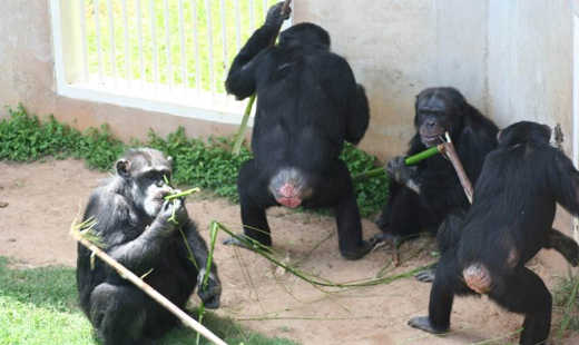 Chimpanser Foretrekker samarbeid over konkurranse som noen mennesker