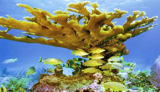 5,000 Year-old Corals estão agora ameaçados