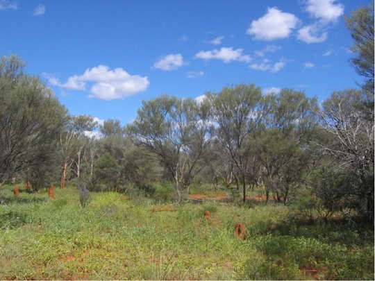 Mulga woodland during a wet period. James Cleverly, Author provided