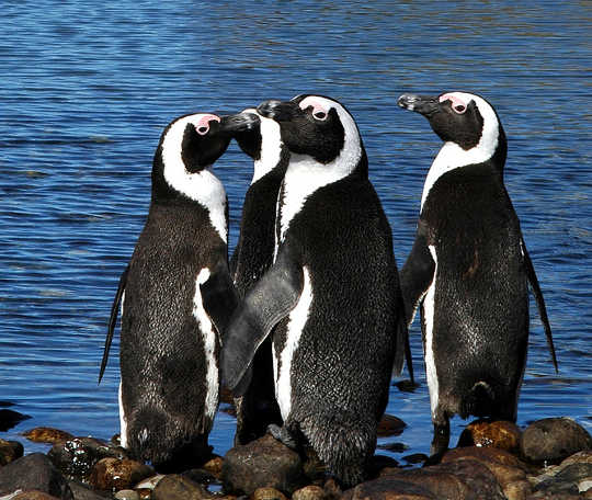 African penguins in Algoa Bay, South Africa Guy Castley What is ecotourism?