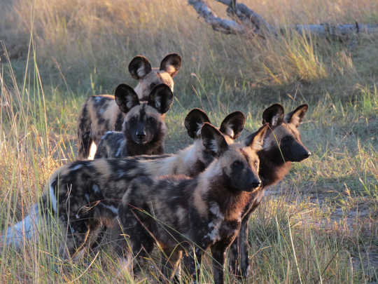 African wild dogs Ralf Buckley