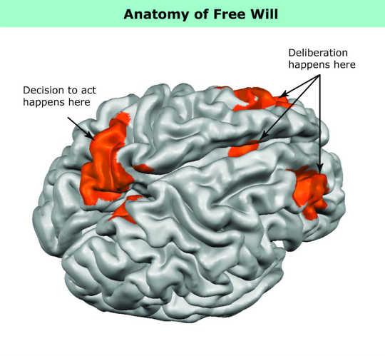 人間の脳の図は、研究者が自由意思決定に関連する活動を発見した場所を示しています。 (提供:ジョンズ・ホプキンス大学)