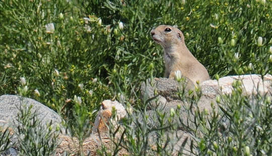 Stick to grasslands, ground squirrel. Vince Smith, CC BY
