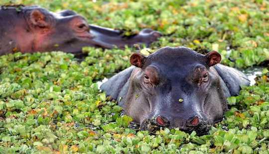 The Last Time Erde war dieses Hot Hippos streiften in Großbritannien