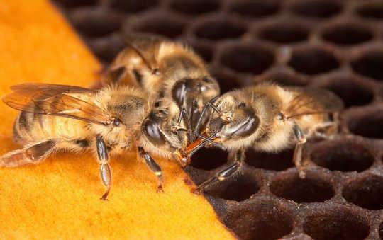 Christian List en Thomas Seeley geloven dat het bestuderen van de manier waarop honingbijen samen beslissingen nemen ons kan helpen betere beslissingen te nemen. flickr / US Department of Agriculture, CC BY-NC
