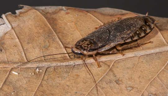 La piuttosto bel macchiato scarafaggio da nord-est dell'Africa è diffusa in tutto il mondo con l'assistenza umana. Anthony O'Toole