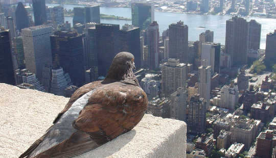 "Are Pigeons The ""Canary In The Coal Mine"" For Lead Exposure"