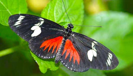 Một số loài bướm nhiệt đới là những người kén ăn