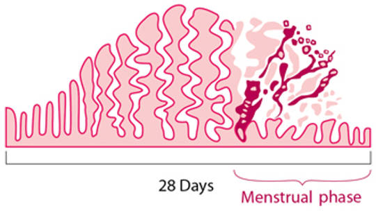 The Short Menstrual Cycle Is Linked To Lower Fertility