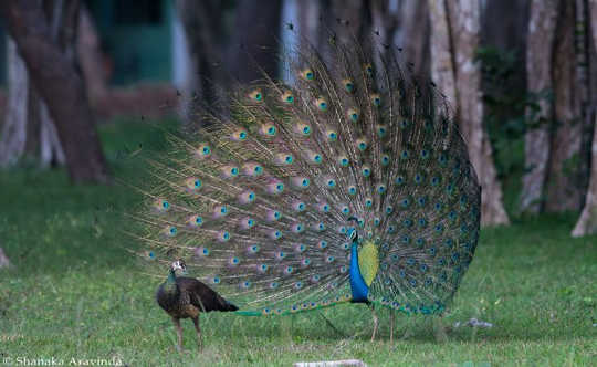 Have a look at my plumage; you know what this dazzling display means. Shanaka Aravinda, CC BY-NC-ND