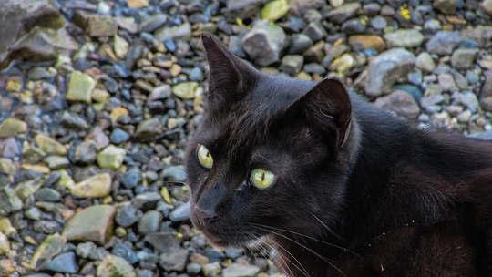 猫的莫里斯