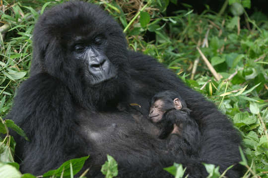 Dawn Of Of This Trumpocene Era Spells Disaster For World's Primates
