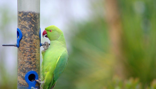 Are Parakeets On Course For Global Domination?