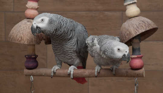 African grey parrots are better off with some company. Papooga, CC BY