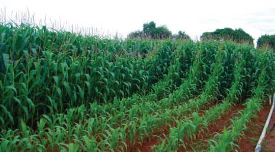 El cultivo de los cultivos en los trópicos crea un dilema de fósforo