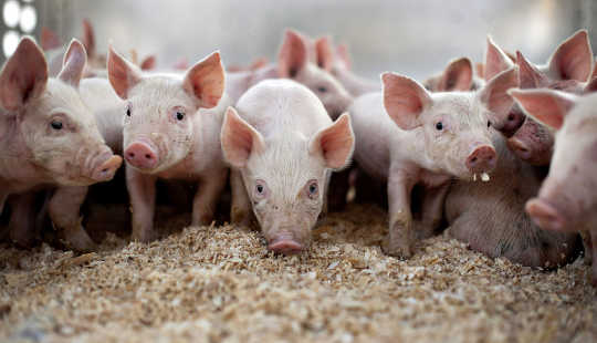 Sounding Ang Alarma Tungkol sa Antibiotics Sa Pig Farms