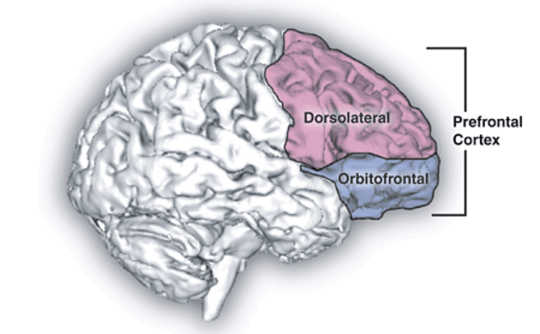 Prefrontal cortex. Natalie M. Zahr, Ph.D., at Edith V. Sullivan, Ph.D. - Natalie M. Zahr, Ph.D., at Edith V. Sullivan, Ph.D.