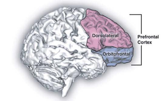 Prefrontale korteks. Natalie M. Zahr, Ph.D., en Edith V. Sullivan, Ph.D. - Natalie M. Zahr, Ph.D., en Edith V. Sullivan, Ph.D.