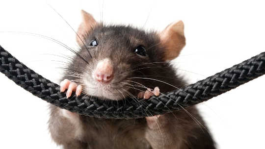 Rats That Take Anxiety Meds Don't Care About Their Pals