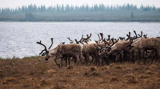 "Reindeer herds in the warming northern Siberia region could be carrying the anthrax bacterium. Image: //www.flickr.com/photos/131954425@N08/"">Aleksandr Popov via Flickr"