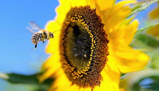 La più recente strategia per salvare le api è davvero vecchia